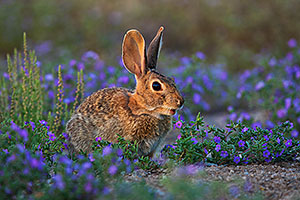 Desert cottontail among spring flowers in Green Valley