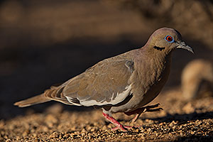 White Winged Dove (male) in Green Valley