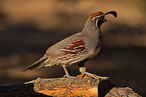Gambels Quail in Green Valley