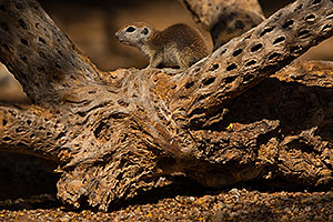 Baby Round Tailed Ground Squirrel in Green Valley