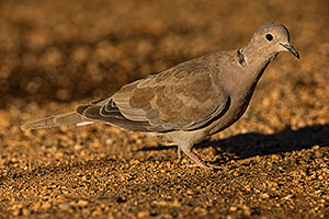 Eurasian Collared Dove in Green Valley