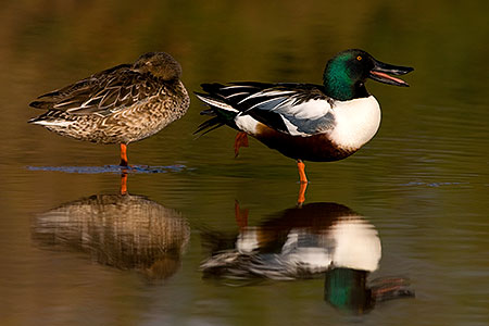 Northern Shoveler (Spoon-billed Duck) couple at Riparian Preserve