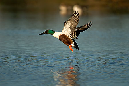 Northern Shoveler at Riparian Preserve