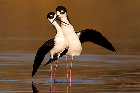 Black Necked Stilts [male right] after mating