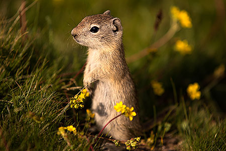 Ground Squirrels in Eastern Sierra, California