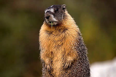 Yellow Bellied Marmot in Eastern Sierra, California
