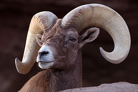 Bighorn sheep in Tucson