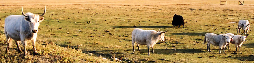 /images/500/2004-10-yak3-sp.jpg - #02349: Yaks in the late afternoon near Sargeants, Colorado  … October 2004 -- Sargeants, Colorado