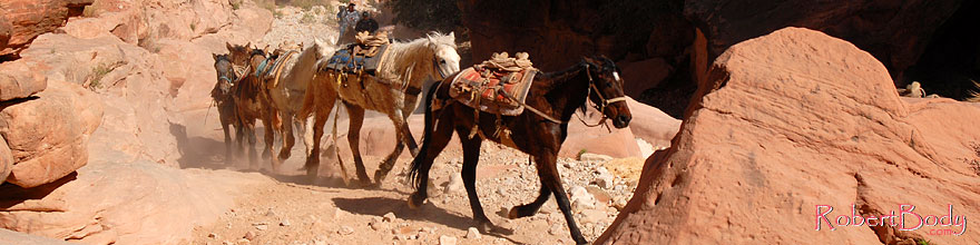 /images/500/2008-04-04-hav-mules-9692sp.jpg - #05069: Unloaded mules running free up Havasupai Trail of Havasu Canyon … April 2008 -- Havasupai Trail, Havasu Falls, Arizona