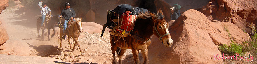 /images/500/2008-04-04-hav-mules-9704sp.jpg - #05070: Loaded mules running free up Havasupai Trail of Havasu Canyon … April 2008 -- Havasupai Trail, Havasu Falls, Arizona