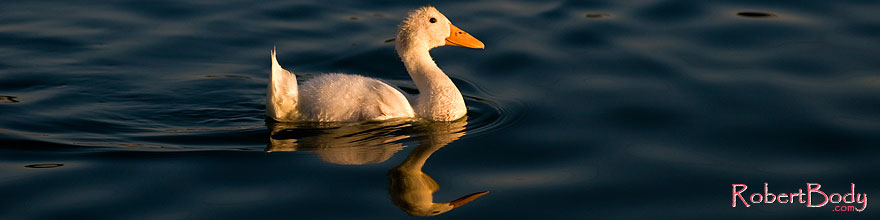 /images/500/2008-06-14-gilb-bgoos-2560s.jpg - #05476: Young white duck reflecting in a pond at Freestone Park … June 2008 -- Freestone Park, Gilbert, Arizona