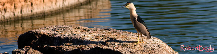 /images/500/2008-06-18-gilb-heron-5879s.jpg - #05499: Black Crowned Night Heron at Freestone Park … June 2008 -- Freestone Park, Gilbert, Arizona