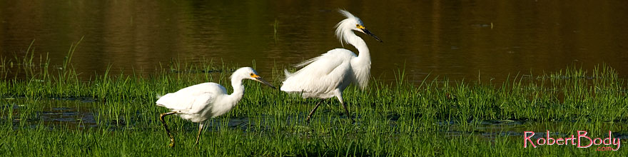 /images/500/2008-06-27-rip-egrets-14519sp.jpg - #05555: Snowy Egrets (have yellow feet, Great Egrets have black feet) at Riparian Preserve … June 2008 -- Riparian Preserve, Gilbert, Arizona