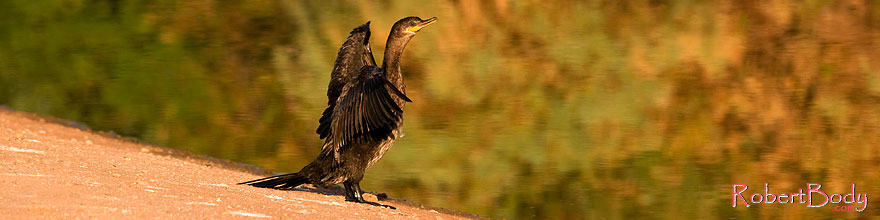 /images/500/2008-06-30-rip-corm-16202sp.jpg - #05570: Cormorant at Riparian Preserve … June 2008 -- Riparian Preserve, Gilbert, Arizona