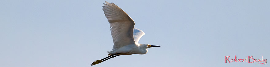 /images/500/2008-06-30-rip-egrets-16273sp.jpg - #05583: Snowy Egret in flight at Riparian Preserve … June 2008 -- Riparian Preserve, Gilbert, Arizona