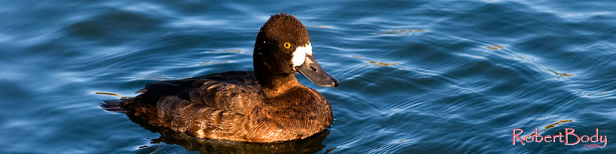 /images/500/2008-11-21-fountain-ducks-51221sp.jpg - #06144: Lesser Scaup (a Diving Duck) [female] at Fountain Hills lake … November 2008 -- Fountain Hills, Arizona