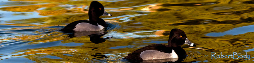 /images/500/2009-01-16-gilbert-free-ducks-76468sp.jpg - #06920: Ring-necked Ducks [males] at Freestone Park … January 2009 -- Freestone Park, Gilbert, Arizona