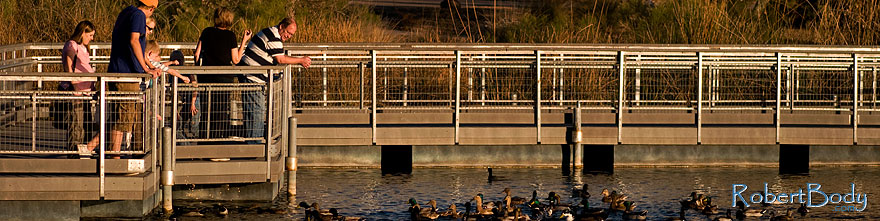 /images/500/2009-01-17-gilbert-rip-lake-76810sp.jpg - #06935: Ducks at Riparian Preserve … January 2009 -- Riparian Preserve, Gilbert, Arizona