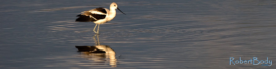 /images/500/2009-01-24-gilb-rip-avocets-78747sp.jpg - #06971: Avocet [in Winter plumage] at Riparian Preserve … January 2009 -- Riparian Preserve, Gilbert, Arizona