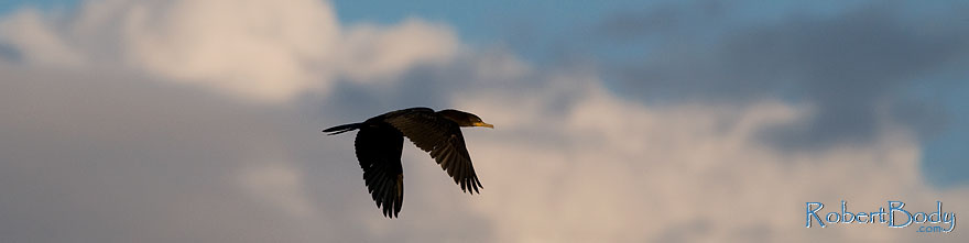 /images/500/2009-01-24-gilb-rip-corm-78706sp.jpg - #06973: Cormorant in flight at Riparian Preserve … January 2009 -- Riparian Preserve, Gilbert, Arizona
