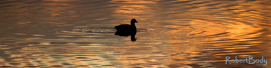 /images/500/2009-01-24-gilbert-rip-morning-78509sp.jpg - #06965: American Coot in the first light at Riparian Preserve … January 2009 -- Riparian Preserve, Gilbert, Arizona