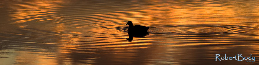 /images/500/2009-01-24-gilbert-rip-morning-78511sp.jpg - #06967: American Coot in the first light at Riparian Preserve … January 2009 -- Riparian Preserve, Gilbert, Arizona