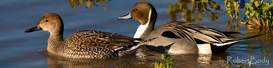/images/500/2009-01-27-gilb-rip-ducks-81875sp.jpg - #07046: Northern Pintails couple at Riparian Preserve … January 2009 -- Riparian Preserve, Gilbert, Arizona