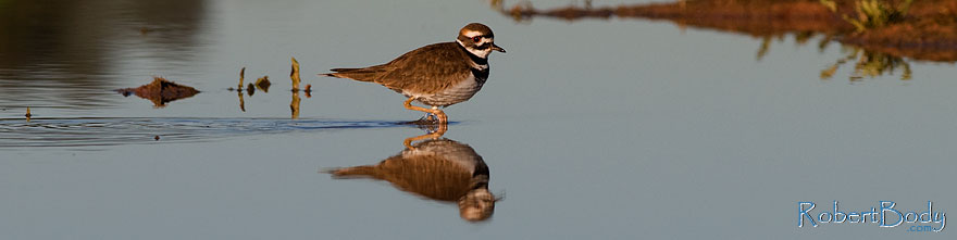 /images/500/2009-01-27-gilb-rip-killdeer-81763sp.jpg - #07052: Killdeer at Riparian Preserve … January 2009 -- Riparian Preserve, Gilbert, Arizona