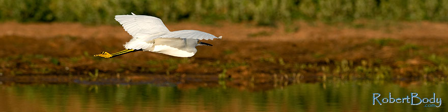 /images/500/2009-01-27-gilb-rip-snowy-81728sp.jpg - #07056: Snowy Egret in flight at Riparian Preserve … January 2009 -- Riparian Preserve, Gilbert, Arizona