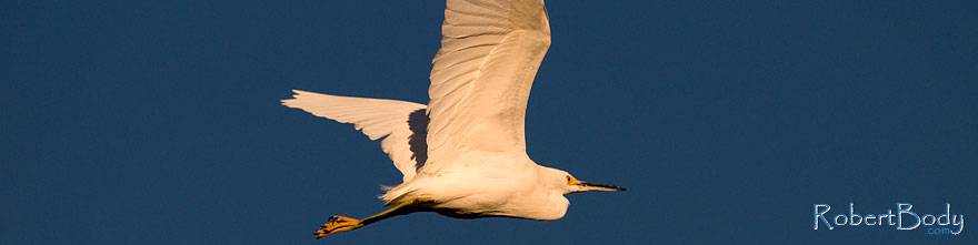 /images/500/2009-01-27-gilb-rip-snowy-81741sp.jpg - #07059: Snowy Egret in flight at Riparian Preserve … January 2009 -- Riparian Preserve, Gilbert, Arizona