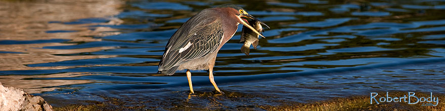 /images/500/2009-01-29-freestone-green-83241sp.jpg - #07074: Green Heron at Freestone Park … January 2009 -- Freestone Park, Gilbert, Arizona