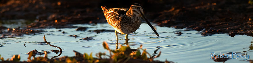/images/500/2009-01-29-riparian-sandpiper-83604sp.jpg - #07078: Wilson`s Snipe at Riparian Preserve … January 2009 -- Riparian Preserve, Gilbert, Arizona