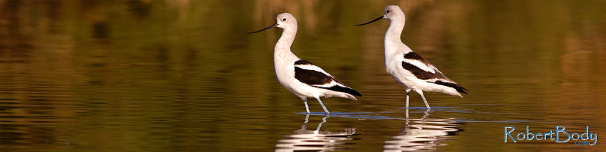 /images/500/2009-01-31-riparian-avocets-84867sp.jpg - #07086: Avocets at Riparian Preserve … January 2009 -- Riparian Preserve, Gilbert, Arizona