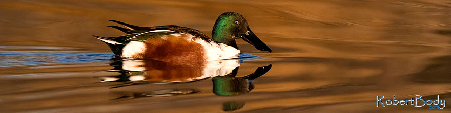 /images/500/2009-01-31-riparian-shovelers-84520sp.jpg - #07089: Northern Shoveler at Riparian Preserve … January 2009 -- Riparian Preserve, Gilbert, Arizona