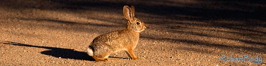 /images/500/2009-02-01-riparian-cottontail-86136sp.jpg - #07100: Desert Cottontail at Riparian Preserve … February 2009 -- Riparian Preserve, Gilbert, Arizona