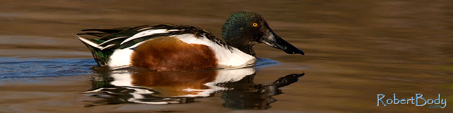 /images/500/2009-02-19-riparian-shovelers-98045sp.jpg - #07271: Northern Shoveler [male] at Riparian Preserve … February 2009 -- Riparian Preserve, Gilbert, Arizona
