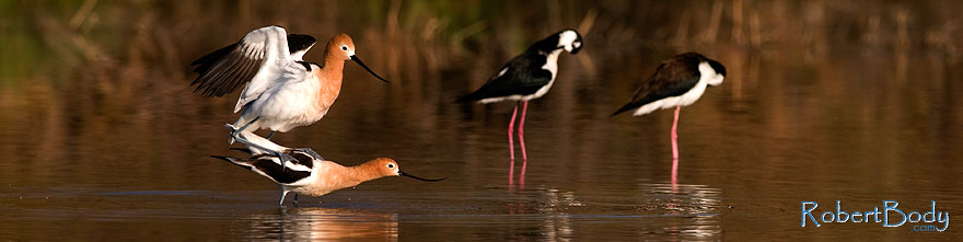 /images/500/2009-02-25-riparian-avocets-99270sp.jpg - #07315: American Avocets mating at Riparian Preserve … February 2009 -- Riparian Preserve, Gilbert, Arizona