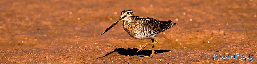 /images/500/2009-02-27-riparian-snipes-100227sp.jpg - #07347: Wilson`s Snipe at Riparian Preserve … February 2009 -- Riparian Preserve, Gilbert, Arizona