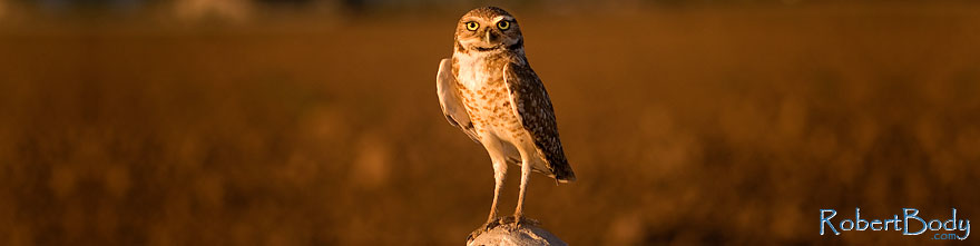 /images/500/2009-07-06-queen-owl-105443sp.jpg - #07406: Burrowing Owl in Queen Creek … July 2009 -- Queen Creek, Arizona