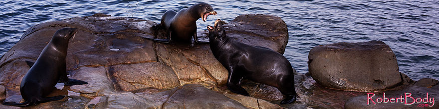 /images/500/2014-01-04-lajolla-seal-5d3_8923sp.jpg - #11532: Sea Lions in La Jolla, California … January 2014 -- La Jolla, California