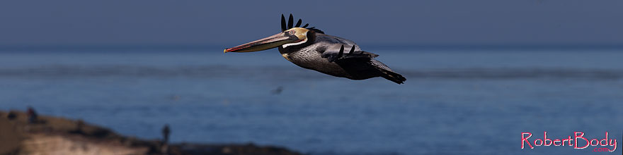 /images/500/2014-01-05-lajolla-pelicans-1x_23660sp.jpg - #11539: Pelican in flight in La Jolla, California … January 2014 -- La Jolla, California