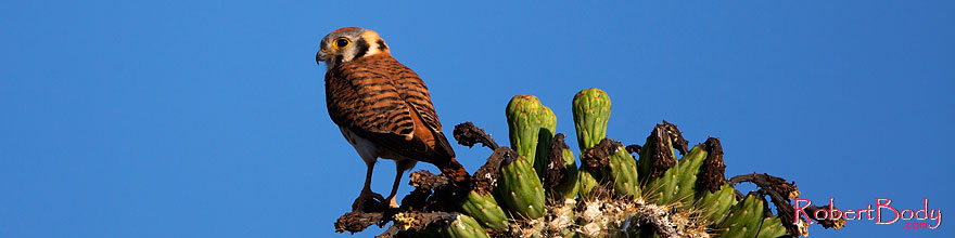 /images/500/2014-05-26-supers-kestrel-5d3_2219sp.jpg - #11799: American Kestrel female in Superstitions … May 2014 -- Superstitions, Arizona