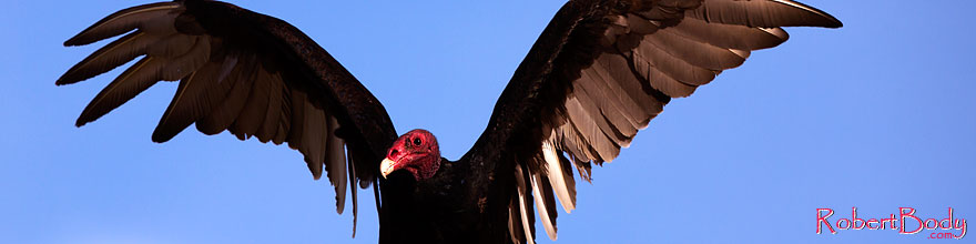 /images/500/2014-06-03-supers-vultures-5d3_7647sp.jpg - #11842: Turkey Vulture in Superstitions … June 2014 -- Superstitions, Arizona
