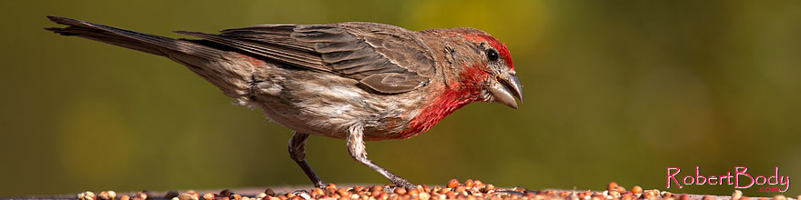 /images/500/2014-07-20-tucson-birds-1dx_2804sp.jpg - #12080: Male House Finch in Tucson … July 2014 -- Tucson, Arizona