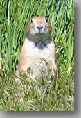 Prairie Dog ... Sedalia, Colorado
